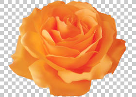 粉红色花卡通,floribunda,切花,蔷薇,玫瑰秩序,玫瑰家族,花园玫瑰
