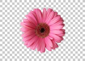 花卉剪贴画背景,非洲菊,洋红色,一年生植物,雏菊家庭,紫菀,黛西,