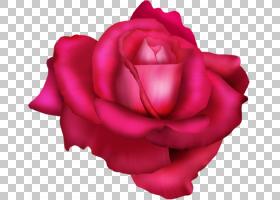 粉红色花卡通,植物,蔷薇,关门,洋红色,玫瑰秩序,粉红色,红色,玫瑰