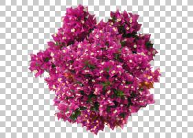 粉红色花卡通,粉红色家庭,洋红色,粉红色,加州丁香,紫色,一年生植