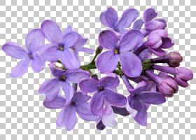 粉红色花卡通,紫罗兰,中提琴,紫罗兰家族,植物,粉红色,丁香,紫色,