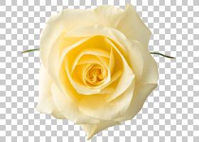 粉红色花卡通,花卉,蔷薇,切花,floribunda,关门,玫瑰秩序,玫瑰家