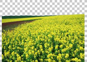 花金,芥末,裁剪,农业,白菜型油菜,场,灌木,芥菜和卷心菜家族,油菜