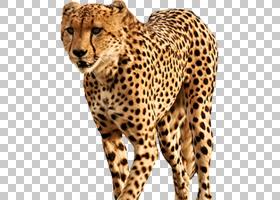 背景图案,胡须,模式,口吻,毛发,豹子,捷豹,野生动物,ACINONORX,猎