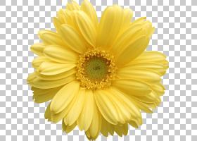花卉剪贴画背景,非洲菊,牛眼雏菊,切花,玛格丽特黛西,花瓣,向日葵