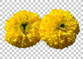 花卉剪贴画背景,非洲菊,金盏花,葵花籽,锅万寿菊,万寿菊,黄色,花
