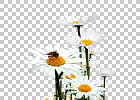 花卉背景,花卉,黛西,传粉者,植物群,插花,雏菊家庭,昆虫,植物,野