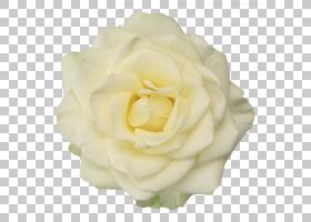 玫瑰金花,桃子,植物,蔷薇,玫瑰秩序,玫瑰家族,白色,玫瑰,浪漫电影图片