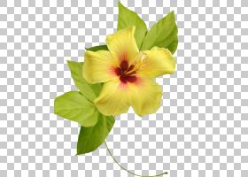 芙蓉花,种子植物,梅洛家族,芙蓉,植物,叶,花瓣,花,黄色,玫瑰花,