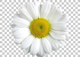 蓝花,非洲菊,牛眼雏菊,黛西,黄色,玛格丽特黛西,雏菊家庭,花瓣,Ch
