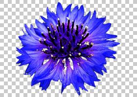 花卉剪贴画背景,紫罗兰,钴蓝,雏菊家庭,紫菀,切花,花瓣,紫色,电蓝