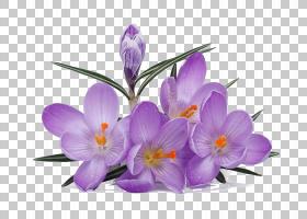 藏红花,花瓣,虹膜家族,紫色,丁香,紫罗兰,多年生植物,花园玫瑰,植