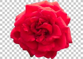 红色水彩花,植物,桃子,牡丹,粉红色家庭,中国玫瑰,洋红色,蔷薇,花