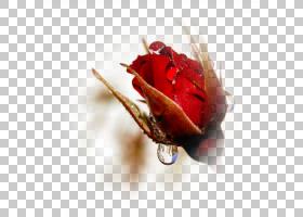 花卉剪贴画背景,植物,静物摄影,花瓣,关门,玫瑰秩序,切花,玫瑰家