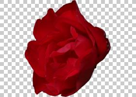 花卉剪贴画背景,洋红色,植物,蔷薇,玫瑰秩序,玫瑰家族,红色,玫瑰,