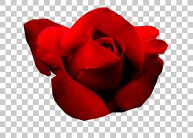 花卉剪贴画背景,种子植物,植物,关门,玫瑰秩序,玫瑰家族,红色,目