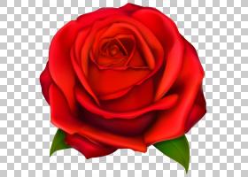 花卉剪贴画背景,花卉,蔷薇,花瓣,floribunda,切花,关门,玫瑰秩序,