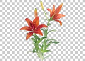 花卉剪贴画背景,莉莉,黄花菜,植物茎,种子植物,百合家族,橙色百合