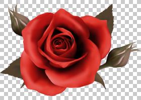 花卉剪贴画背景,蔷薇,切花,floribunda,关门,玫瑰秩序,玫瑰家族,