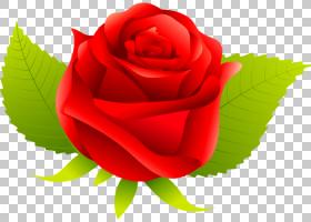 花卉剪贴画背景,蔷薇,桃子,中国玫瑰,植物,关门,玫瑰秩序,玫瑰家
