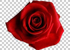 花卉剪贴画背景,蔷薇,植物,关门,玫瑰秩序,玫瑰家族,玫瑰,花瓣,切