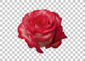 粉红色花卡通,桃子,蔷薇,玫瑰秩序,玫瑰家族,弗里茨猫,浪漫主义,