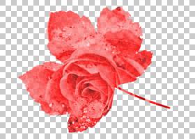 粉红色花卡通,植物,桃子,粉红色家庭,关门,玫瑰秩序,玫瑰家族,红