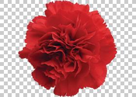 粉红色花卡通,植物,洋红色,石竹,粉红色家庭,花瓣,白色,粉红色,绿