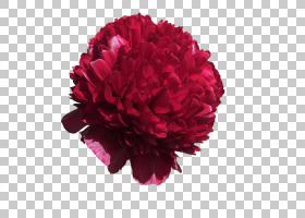 粉红色花卡通,植物,粉红色家庭,康乃馨,洋红色,粉红色,牡丹,开花,