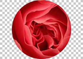 粉红色花卡通,植物,蔷薇,洋红色,桃子,关门,玫瑰秩序,花瓣,玫瑰家