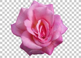 粉红色花卡通,洋红色,蔷薇,floribunda,切花,玫瑰家族,玫瑰秩序,