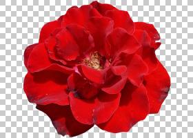 粉红色花卡通,粉红色家庭,一年生植物,中国玫瑰,蔷薇,玫瑰秩序,玫