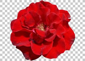 粉红色花卡通,粉红色家庭,中国玫瑰,蔷薇,玫瑰秩序,玫瑰家族,红色
