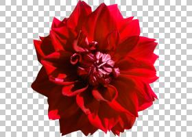 粉红色花卡通,粉红色家庭,康乃馨,洋红色,花园玫瑰,花瓣,橙色,植