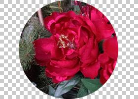 粉红色花卡通,粉红色家庭,杜鹃,山茶花,灌木,山茶科,蔷薇,玫瑰秩
