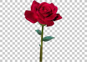 粉红色花卡通,粉红色家庭,洋红色,植物茎,蔷薇,玫瑰秩序,玫瑰家族