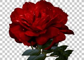 粉红色花卡通,粉红色家庭,蔷薇,康乃馨,玫瑰秩序,玫瑰家族,玫瑰,