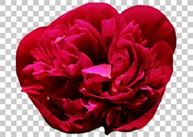 粉红色花卡通,粉红色家庭,蔷薇,玫瑰秩序,洋红色,玫瑰家族,粉红色