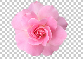粉红色花卡通,草本植物,粉红色家庭,洋红色,蔷薇,floribunda,切花