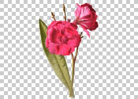 粉红色花卡通,草本植物,粉红色家庭,洋红色,蔷薇,玫瑰家族,玫瑰,