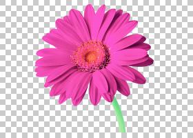 粉红色花卡通,草本植物,非洲菊,洋红色,紫罗兰,一年生植物,玛格丽