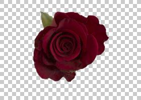 粉红色花卡通,蔷薇,植物,紫色,玫瑰秩序,洋红色,粉红色,玫瑰家族,