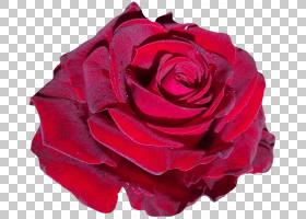 粉红色花卡通,蔷薇,花瓣,玫瑰秩序,玫瑰家族,中国玫瑰,植物,洋红