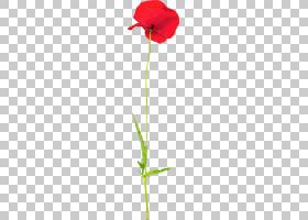红玫瑰,植物茎,种子植物,罂粟家族,花瓣,Coquelicot,叶,植物群,植
