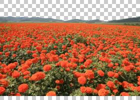 万寿菊花,景观,草,种子植物,野花,场,罂粟家族,生态系统,Coquelic