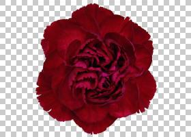 粉红色花卉背景,粉红色家庭,洋红色,蔷薇,玫瑰秩序,玫瑰家族,flor