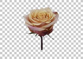 粉红色花卉背景,人造花,桃子,蔷薇,植物,玫瑰秩序,粉红色,切花,玫