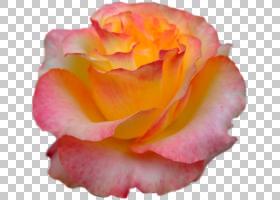 粉红色花卉背景,多年生植物,海棠,野花,切花,特写镜头,桃子,玫瑰