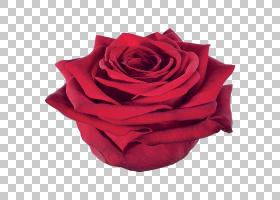 粉红色花卉背景,桃子,蔷薇,洋红色,花瓣,玫瑰秩序,玫瑰家族,玫瑰,