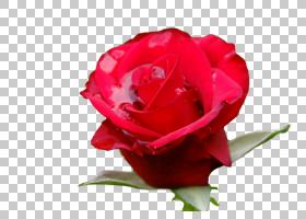 粉红色花卉背景,粉红色家庭,中国玫瑰,植物,蔷薇,关门,玫瑰秩序,